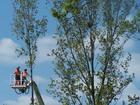 pilarze tnący gałęzie kilknaście metrów od gniazda srok (gniazdo widoczne w prawej górnej ćwiartce zdjęcia)
