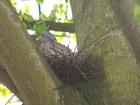 gołąb grzywacz podczas lęgu / bezpośrednia okolica wycinki