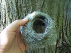 zniszczone przez wycinkę gniazdo zięby / tegoroczne, znalezione w gałęziach spuszczonej topoli