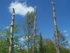 samotne drzewo z gniazdem / wokół puste przestrzenie po usuniętych drzewach i kikuty przygotowanych do spuszczenia drzew
